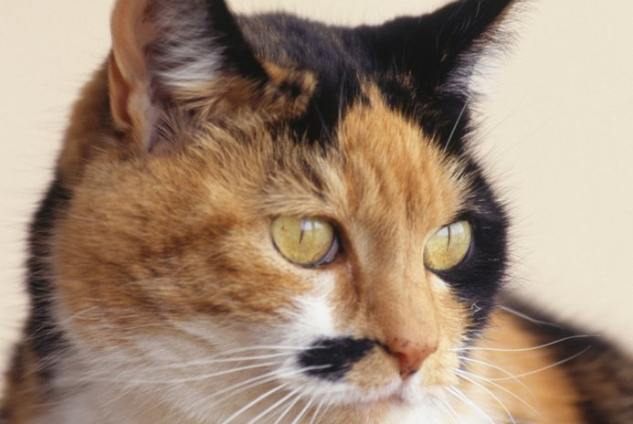 How Soon After a Cat Goes Into Heat Can She Be Spayed?