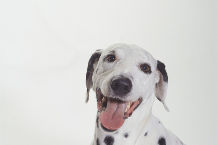 How Do You Know if a Dalmatian Is Deaf?