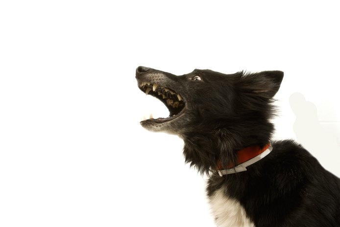 How to Keep a Border Collie From Barking at Night