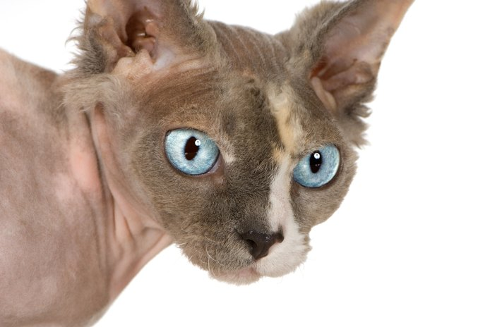 Allergy to a Hairless Cat