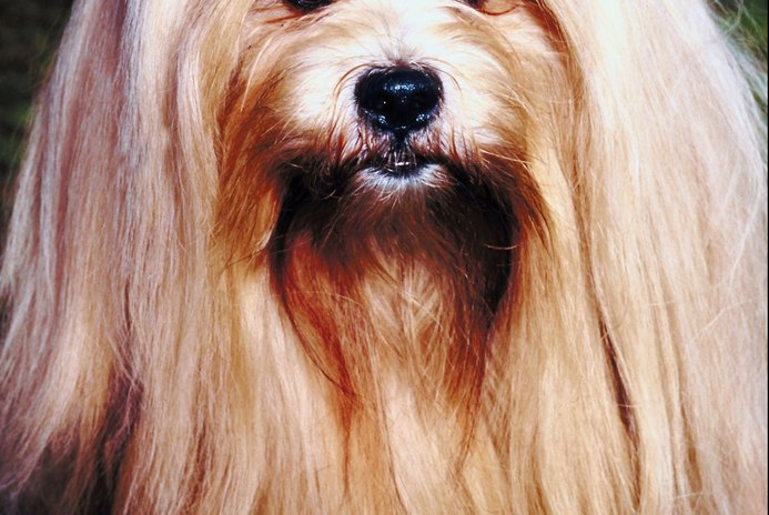 How to Clip Lhasa Apso Hair