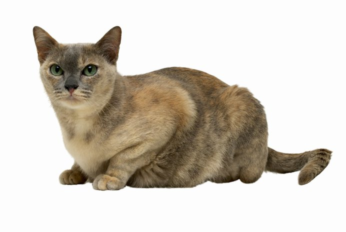 Hyperthyroidism & Liver Function in Cats