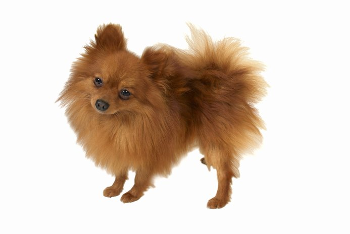 Are Crates Necessary for Pomeranians?