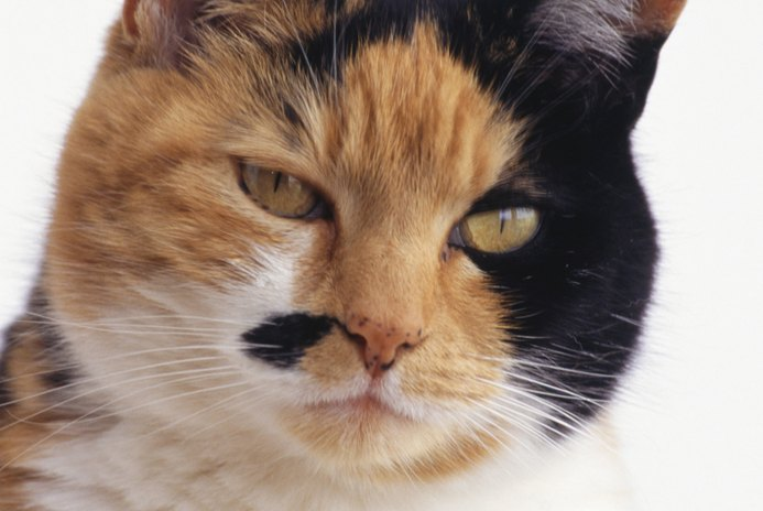 What Is a Diluted Calico Cat?