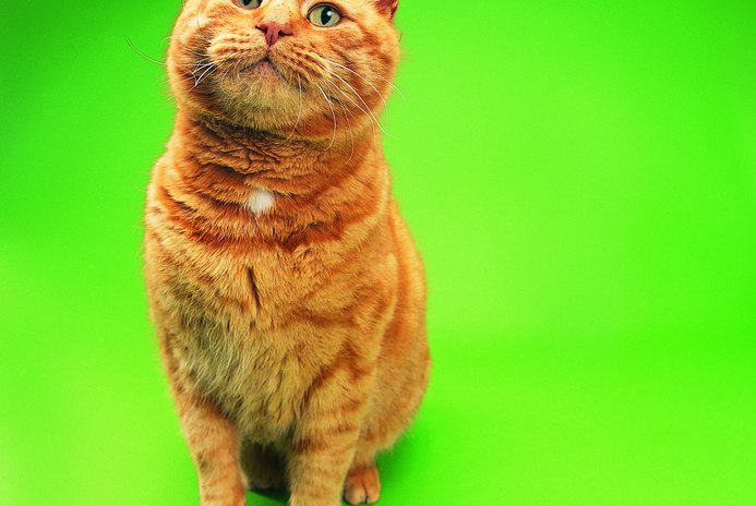 What Is a Ginger Cat?