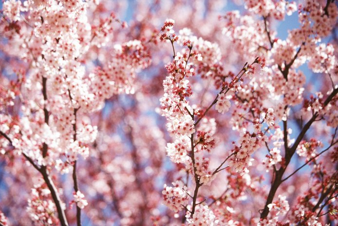Are Cherry Blossoms Poisonous to Cats?