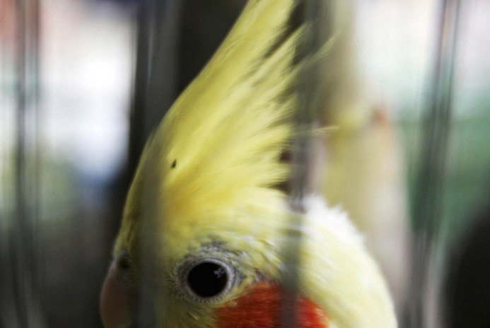 Should Cockatiels Have Glass Mirrors in Their Cages?
