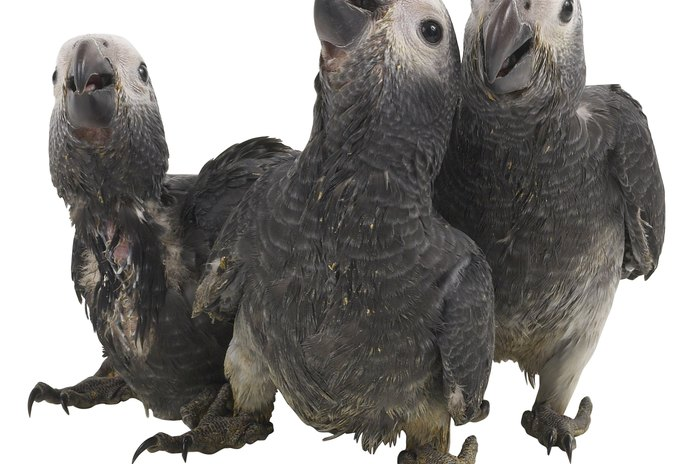 Worms in Grey Parrots