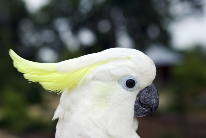 Cockatoo Species