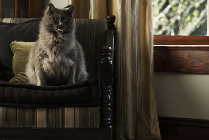 How to Comb a Himalayan Cat