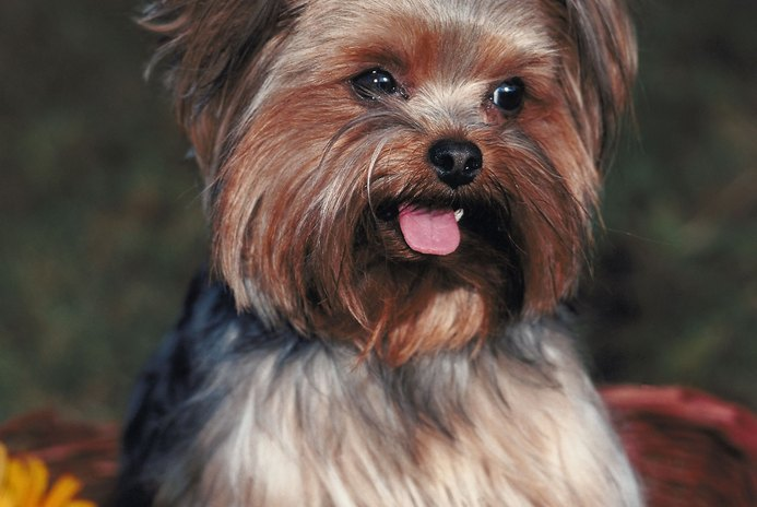 Are Table Foods Bad for Yorkie Terriers?