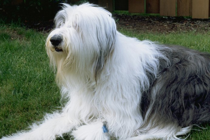 Do Old English Sheepdogs Get Along with Cats?