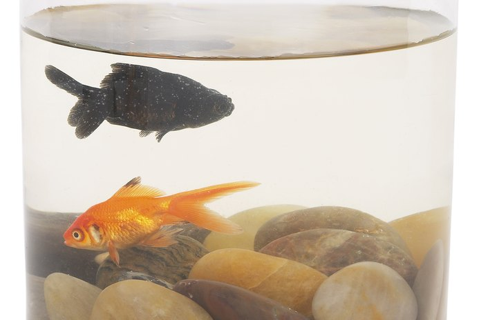 What Happens when a Goldfish Starts to Get Black All Over?