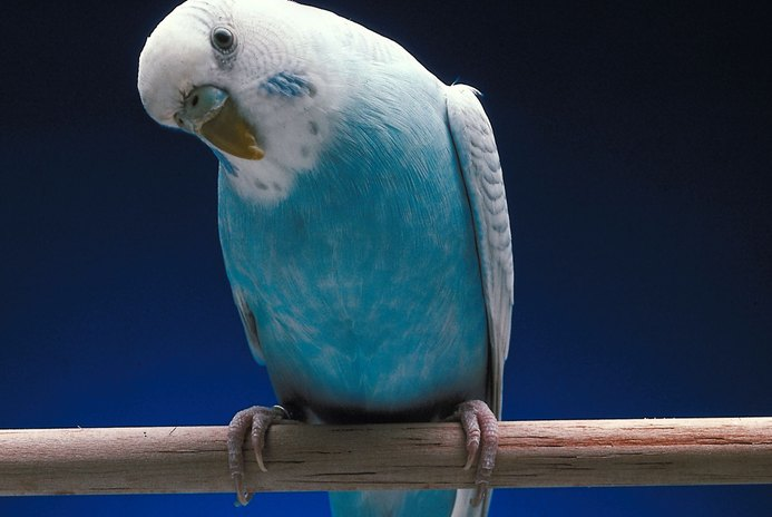 What Does Squawking Mean With Parakeets?