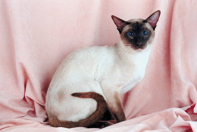 Blindness in Siamese Cats