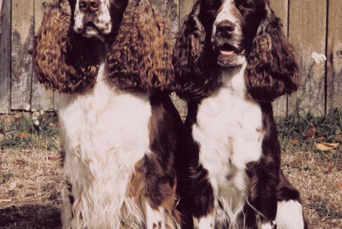 Differences in Bench & Field Springer Spaniels
