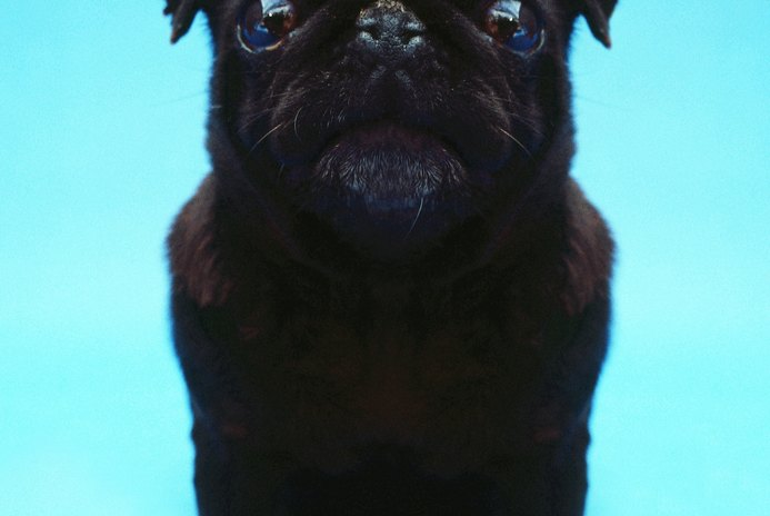 The Best Dog Foods for Pugs