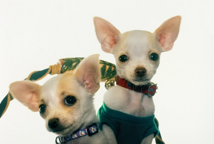 Do All Chihuahuas Have Short Hair at Birth?