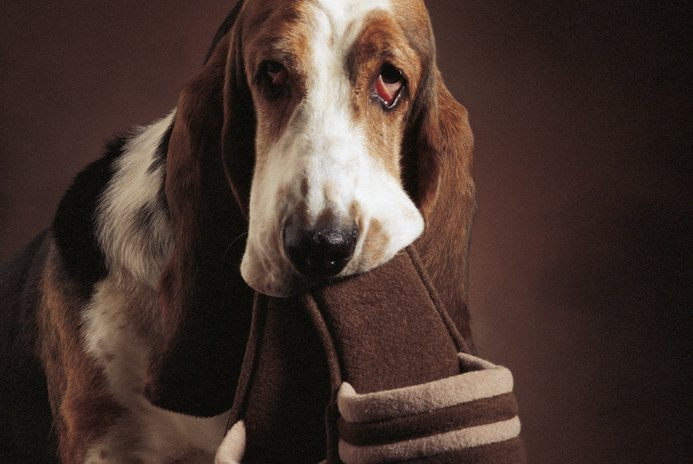 How to Care for a Basset Hound With Droopy Eyes