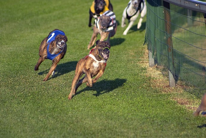 What Is a Dog's Fate After It Is Retired From Greyhound Racing?