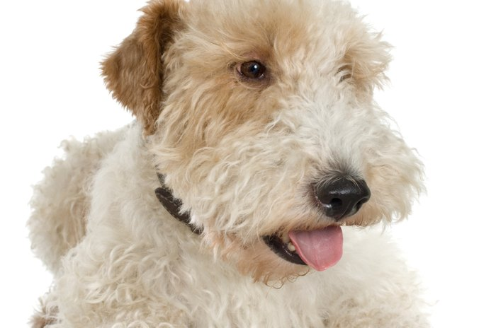 How to Groom a Wheaten Terrier