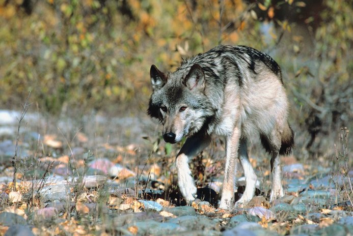 Which Breeds of Dogs Are Closest to the Wolf?