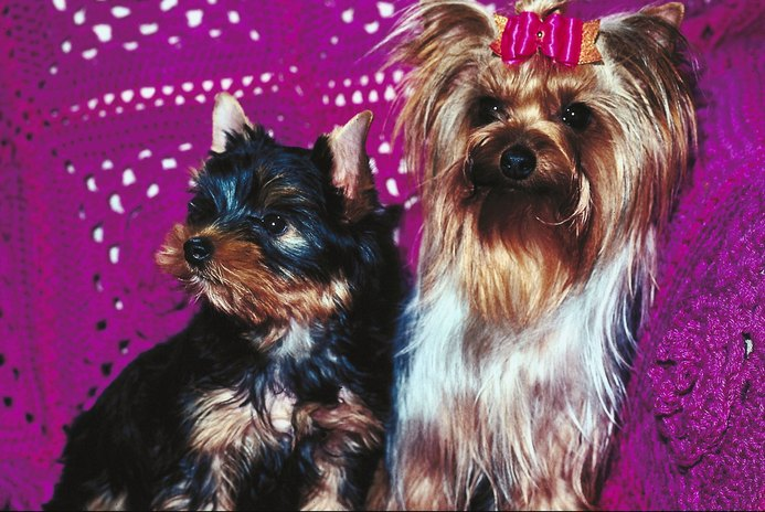 Cute Hair Styles for Yorkies