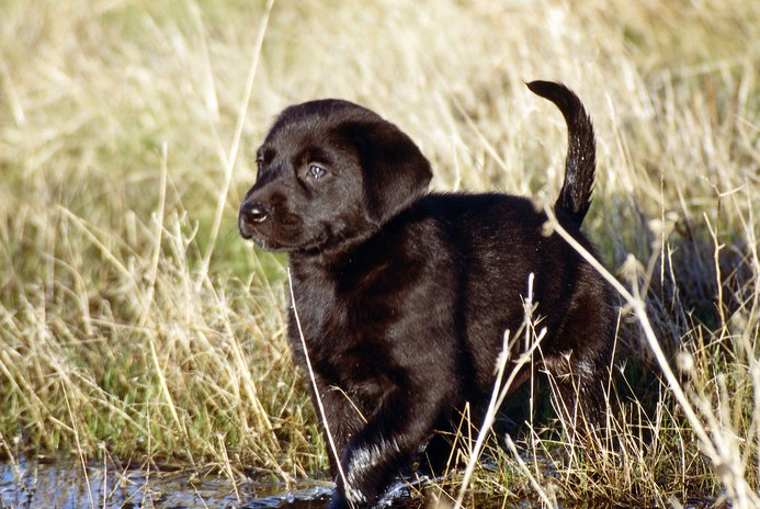 Do Lab Puppies Blow Their Coat?