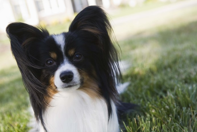 How to Trim a Papillon
