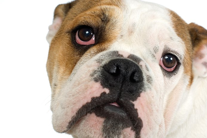 Separation Anxiety in an American Bulldog