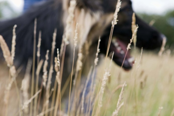 How to Train a German Shepherd Dog to Follow Trails