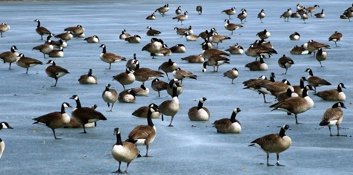 Canadian Geese - wildlife in south dakota
