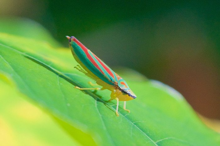 Red-banded leafhopper - Bugs Found In South Dakota