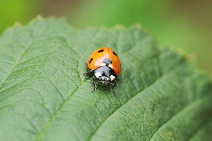 Asian Lady Beetle - Bugs Found In South Dakota