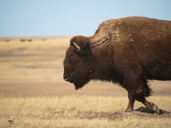 Bison in South Dakota