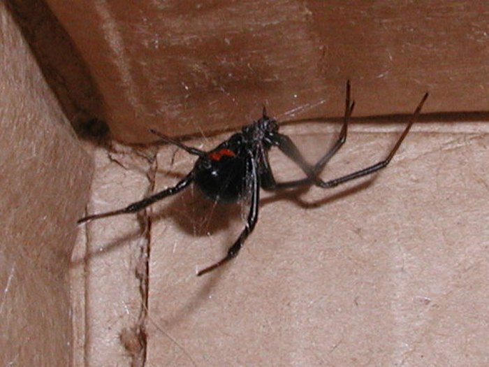 can black widow spiders kill you - 700×525