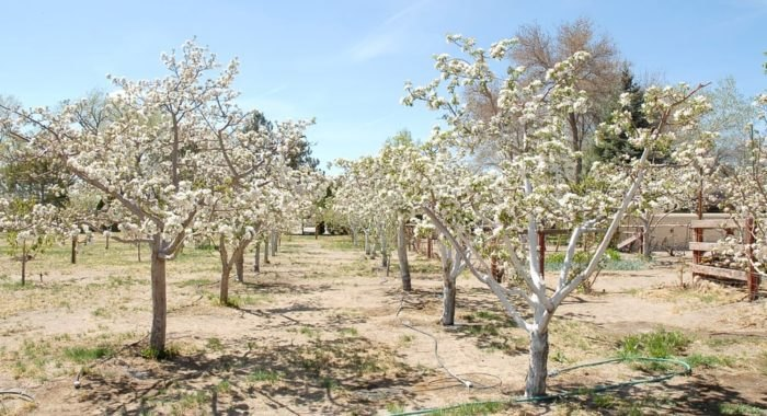 nevada apple orchards