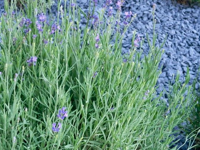 The Beautiful Lavender Farm Hiding In Plain Sight In Vermont That