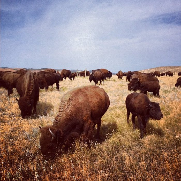 Buffalo grazing after the roundup