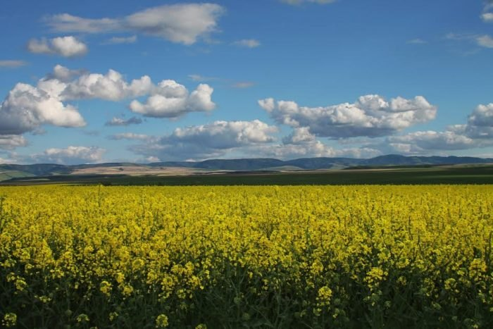 Idaho's colorful Canola fields