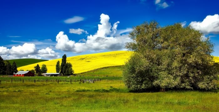 Canola Fields in Bloom in Idaho - A bucket list sight!