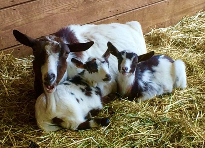Meet Adorable Animals At These 7 New Hampshire Petting Zoos