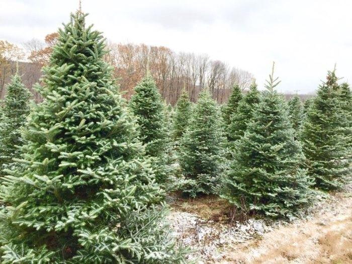 Cut Your Own Christmas Tree Near Buffalo