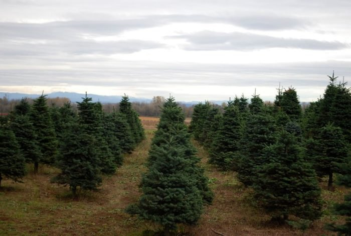 Cut Your Own Christmas Tree.3 Places To Cut Your Own Christmas Tree Around Portland