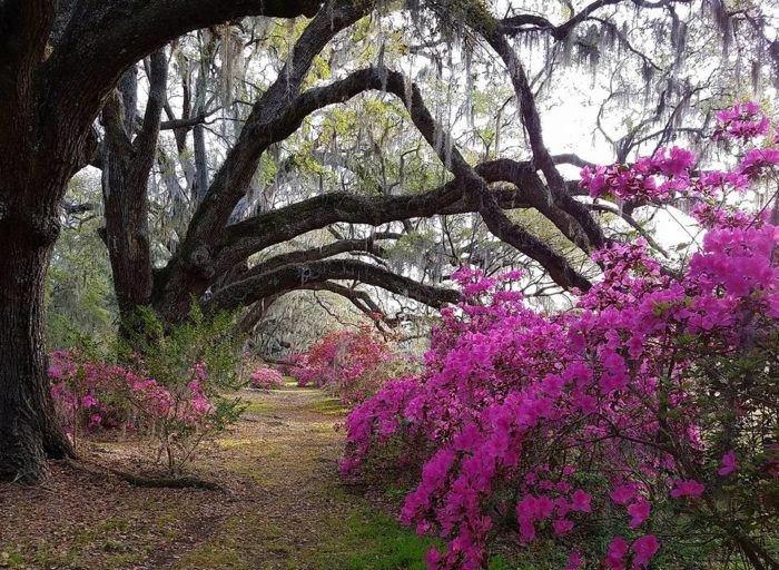 Magnolia Plantation And Gardens The Oldest Garden In America Is In