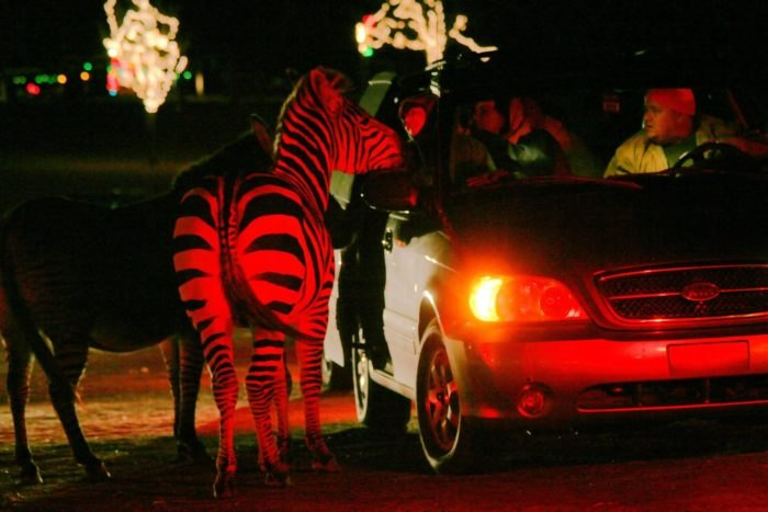 Hollywild Christmas Lights 2019 Hollywild's Drive Thru Christmas Safari In South Carolina Is The