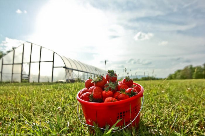 Pick Your Own Strawberries At This Charming West Virginia Farm