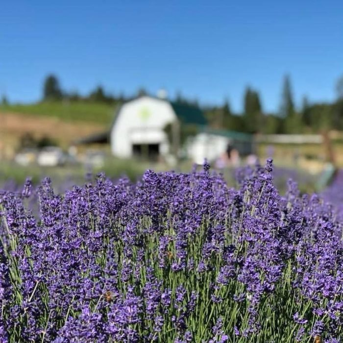 The Dreamy Lavender Farm In Northern California You'll Want