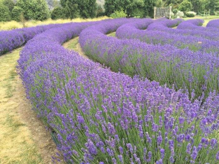 Sharp's Crossing In Champaign, Illinois Is A Lavender Farm