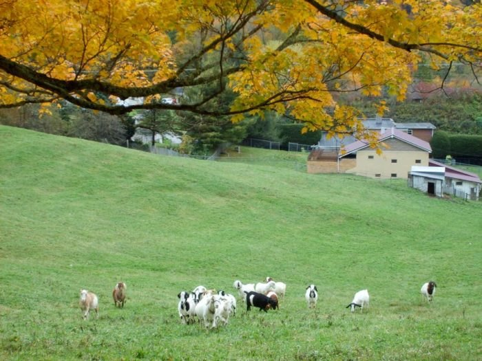 Blueberry Goat Haven Is West Virginia's Lovely Farm Bed And